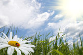 Chamomile with ladybird, green grass and blue sky — Stock Photo