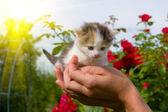Little kitten in hands — Stock Photo