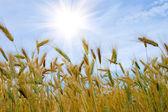 Paesaggio con campo di grano dorato — Foto Stock