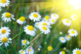 Daisies in the grass and the sun — Stock Photo