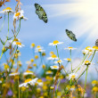 Field with daisies and butterflies — Stock Photo