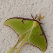 Luna Moth — Stock Photo