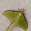 Luna Moth — Stock Photo #2856635