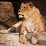 Lioness — Stock Photo #2894871