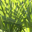 Stock Photo: Palm leaves