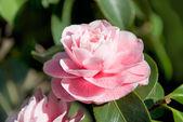 Camellia — Stock Photo