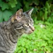 Hunting tabby cat - Stock Photo