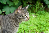 Hunting tabby cat — Stock Photo