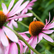 Purple cone flower — ストック写真