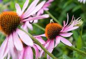 Purple cone flower — Stock Photo