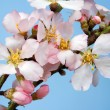 Flowering almond branch — Stock Photo #2928067