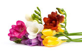 Blooming Freesia. — Stock Photo