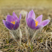 Pulsatilla patens. — Stock Photo