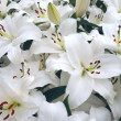 Stock Photo: White lilies