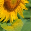 Sunflower — Stock Photo #3773282