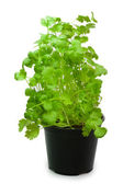 Coriander in a pot — Stock Photo
