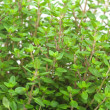 Close-up of thyme - Stock Photo