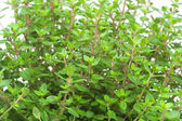 Close-up of thyme — Stock Photo