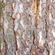 Pine bark - Stock Photo