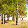Edge of pine forest — Stock Photo