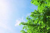 Coroa verde e o céu — Fotografia Stock