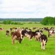 Cow herd — Stock Photo