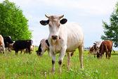 The bull — Stock Photo