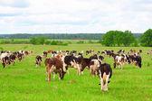 牛の群れ — ストック写真