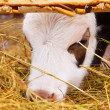 The calf — Stock Photo