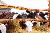 The calves — Stock Photo