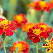Stock Photo: Tagetes flowers