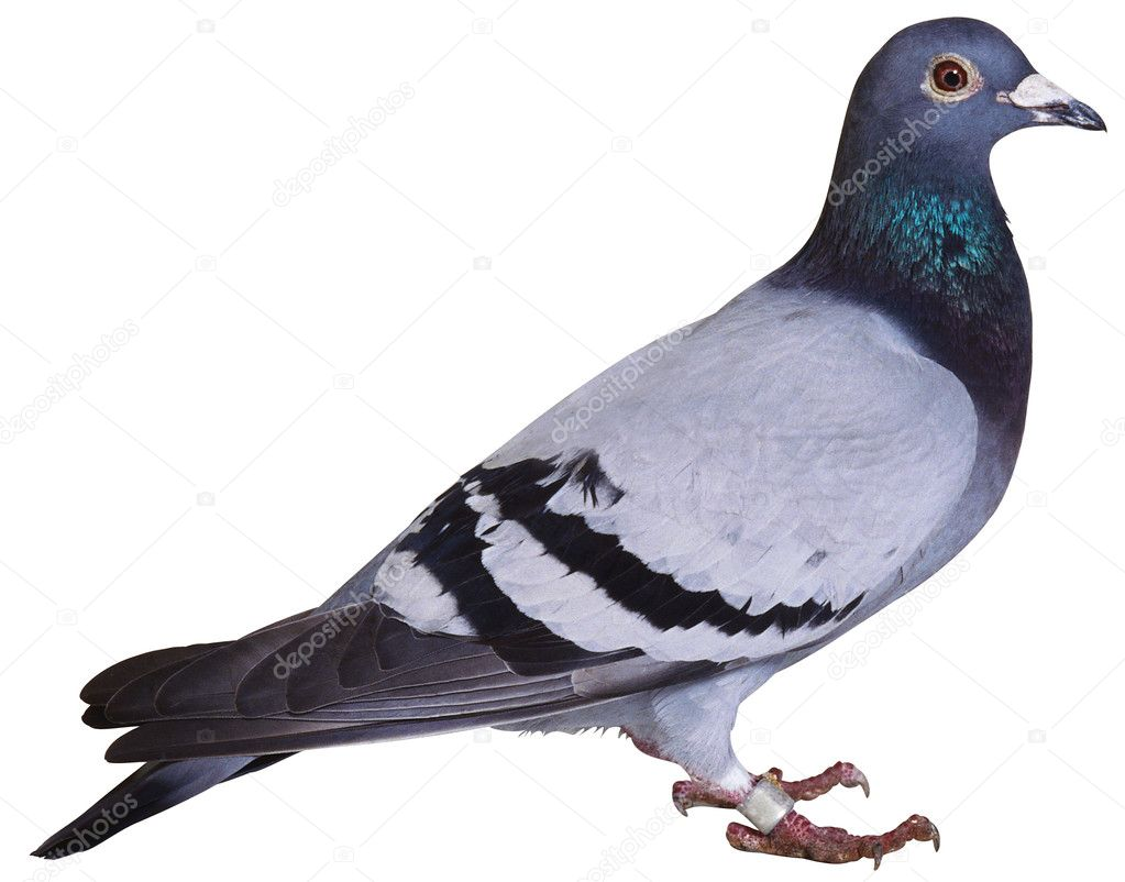 Rock pigeon  Stock Photo #2793120