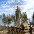 Wood logs in deforest forest — Stock Photo