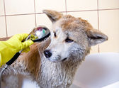 Washing Akita dog — Stock Photo