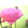 Pink rose, macro — Stock Photo