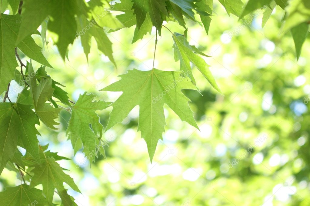 Branch of maple tree with lush green foliage — Stock Photo #3302943