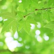 Tree branch with green leaves — Stock Photo