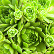Sempervivum — Stock Photo #3081057
