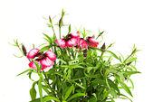 Pink carnation — Stock Photo