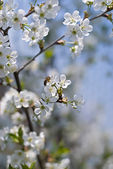 Bee on cherry tree — Stock Photo