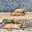 Stock Photo: Street dogs