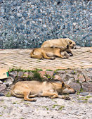 Street dogs — Stock Photo