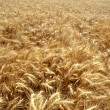 Field of golden wheat — Stock fotografie