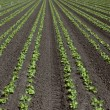 Stock Photo: Rows of young lettuce in field