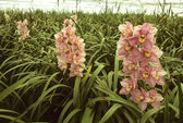 Pink orchids in a greenhouse — Stock Photo
