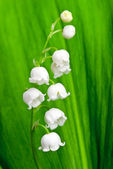 Beautiful lily-of-the-valley flower — Stock Photo