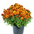 Flower pot with orange chrysanthemum flowers — Stock Photo