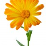 Calendula flower — Stock Photo #3318985