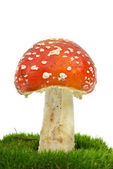 Fly agaric (Amanita Muscaria) growning on the moss — Stock Photo