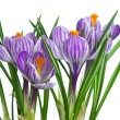 Bunch of stripy crocuses — Stock Photo #3322888